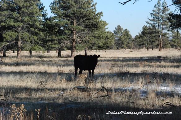 Flatirons Trail-Cow