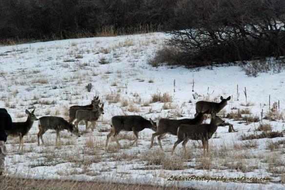 Roxborough Park-Deer