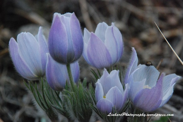 Pine Valley Ranch-Pasque Flowers