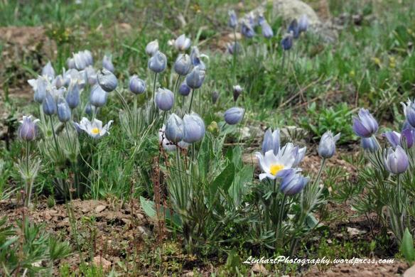 Lower Cataract Lake-pasque flowers