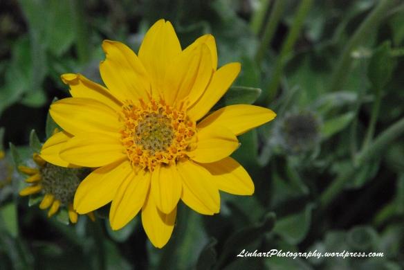 Lower Cataract Lake-yellow daisy