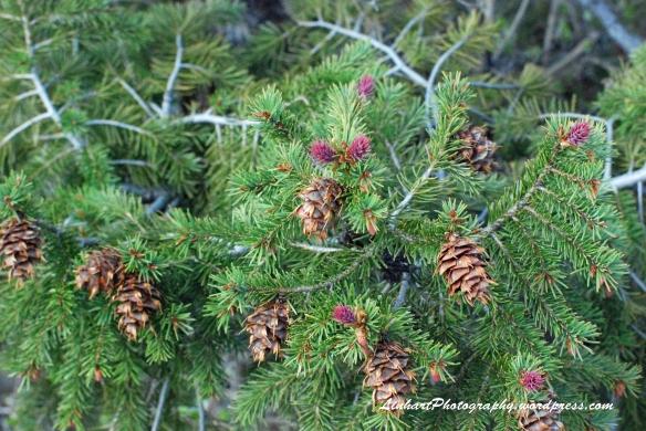 Staunton State Park-pine cone buds