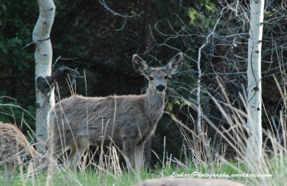 Staunton State Park-deer