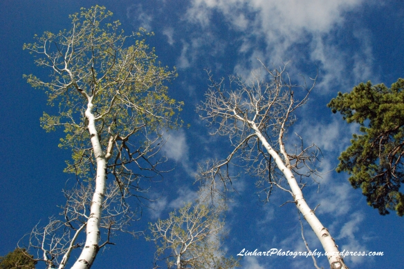 Staunton State Park-aspens