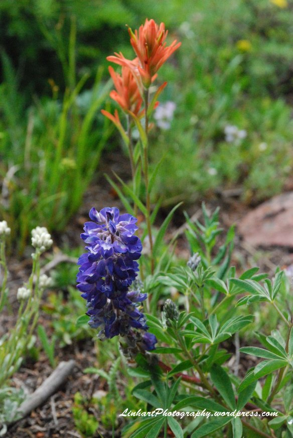 Wilder Gulch-wildflowers