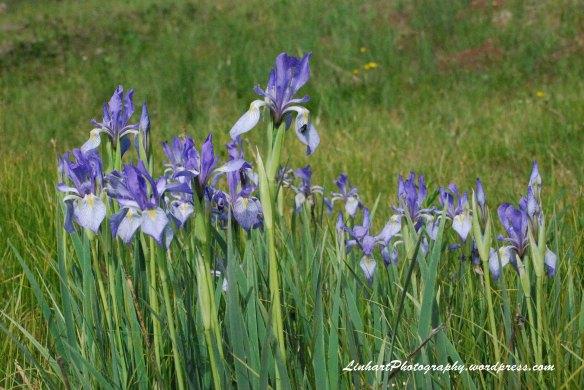 Wilder Gulch-Iris