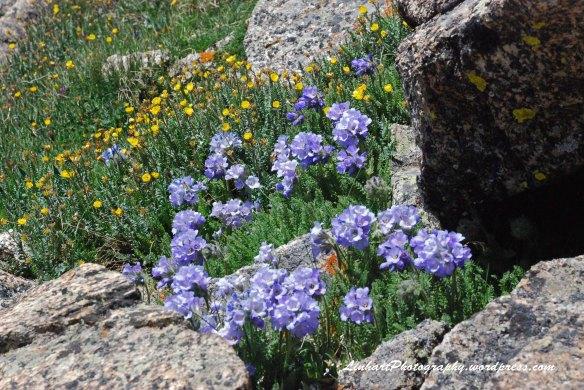 Mt. Harvard-Wildflowers