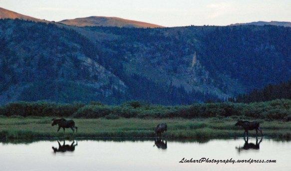 Mt. Evans-Moose