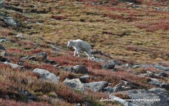 Mt. Evans-Mountain Goats