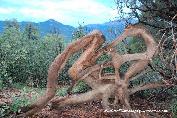Garden of the Gods-tree root
