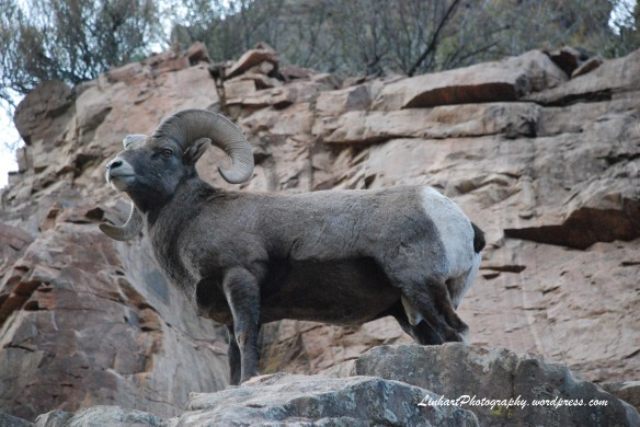 The Mighty Bighorn Sheep